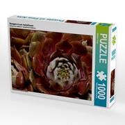 Sempervivum metallicum (Puzzle)